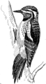 Sapsucker 2 (PSF).png