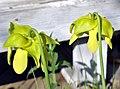 Sarracenia oreophila (5807028550).jpg
