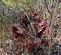 Sarracenia purpurea (5069408209).jpg