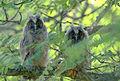 Sarvipöllön poikaset.jpg