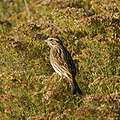 Savannah Sparrow (5129292087).jpg