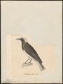 Saxicola monacha - 1700-1880 - Print - Iconographia Zoologica - Special Collections University of Amsterdam - UBA01 IZ16200334.tif