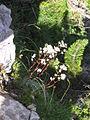 Saxifraga crustata PID924-1.jpg