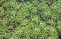 Saxifraga paniculata, Jardín Botánico, Múnich, Alemania, 2013-09-08, DD 01.JPG