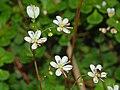 Saxifragaceae - Saxifraga cuneifolia (8303624709).jpg
