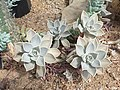 Saxifragales - Echeveria sp. - 10.jpg
