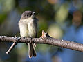 Sayornis phoebe -Madison, Wisconsin, USA-8.jpg