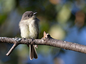 Eastern phoebe - Image: Sayornis phoebe Madison, Wisconsin, USA 8
