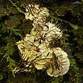 Scaly Dog Lichen (4501603399).jpg