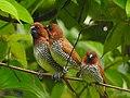 Scaly breasted munia -kannur@kattampally birds - 7.jpg