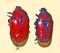 Scarabaeidae - Diplognatha gagates.JPG
