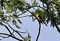 Scarlet Tanager (29307473240).jpg