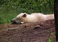 Schlafender Polarwolf Wildpark Alte Fasanerie Juni 2012.JPG