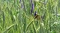 Schmetterling im Kornfeld.jpg