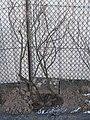 Schwarze Johannisbeere 11. 02. 2012 - panoramio.jpg