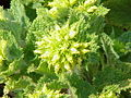 Scrophularia auriculata5.jpg