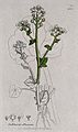Scurvy grass (Cochlearia officinalis); flowering stem, leaf, Wellcome V0044234EL.jpg