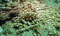 Sea Slug (Phyllodesmium kabiranum) (6077072812).jpg