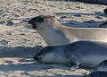 Seals at Piedras Blancas elephant seal rookery 2013 04.jpg