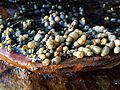Seaweed rock pool (28507894085).jpg
