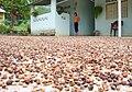 Secado de cacao en la azulita.jpg