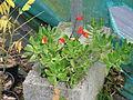 Seemannia nematanthodes (15037240523).jpg