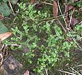 Selaginella apoda1.jpg