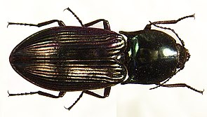 Glanzschnellkäfer (Selatosomus aeneus )
