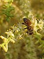 Serenoa repens and bee (Scott Zona) 2.jpg