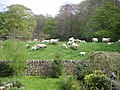 Sheep at Runley Mill - geograph.org.uk - 692868.jpg