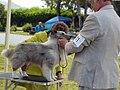 Shetland Sheepdog at Dog Show.jpg