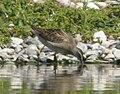 Short-billed Dowitcher (juvenile), Caledonia Sewage Ponds, August 22, 2012 (7841654826).jpg