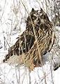 Short eared owl kohl odfw (6355904513).jpg