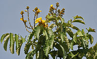 Siala (Markhamia lutea) leaves & flowers at canopy at Secunderabad W IMG 6683