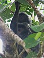Silvered leaf monkey (8053619628).jpg