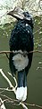 Silvery-cheeked Hornbill (Ceratogymna brevis).jpg