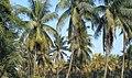 Singheshwar coconut farm.jpg