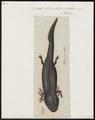 Siredon humboldtii - 1700-1880 - Print - Iconographia Zoologica - Special Collections University of Amsterdam - UBA01 IZ11400149.tif