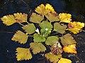 Sjönöt - Trapa natans-1410-5 - Flickr - Ragnhild & Neil Crawford.jpg