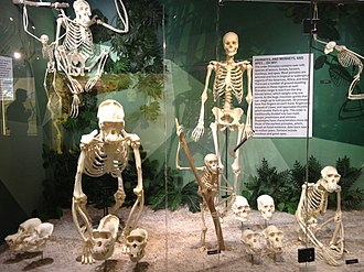 Skeletons: Museum of Osteology - Image: Skeletons Animals Unveiled Ape Exhibit