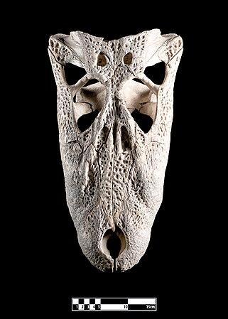 Skull of crocodile (Crocodylidae).jpg