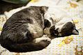 Sleeping Miyako (8602018312).jpg