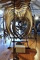 Slottsfjellsmuseet Museum Hvalhallen (Whale Hall) Tønsberg, Norway. Hvalskjeletter (Old skeletons) Blåhval (Blue whale 27m Iceland 1900) etc 2020-01-21 2296.jpg
