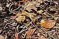 Slow-worm (Anguis fragilis) (8618629855).jpg