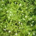 Small white flowers bgiu.jpg