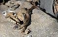 Smooth snake - Coronella austriaca - Медянката.jpg
