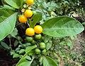 Solanum diphyllum 04.JPG