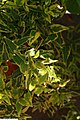 Solanum jasminoides Variegata 2zz.jpg