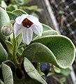 Solanum nelsonii (5311118743).jpg