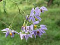 Solanum seaforthianum - Begur Butterfly Survey 03.jpg